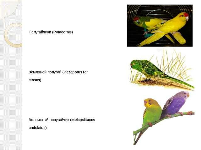 Попугайчики (Palaeornis) Земляной попугай (Pezoporus for mosus) Волнистый по...