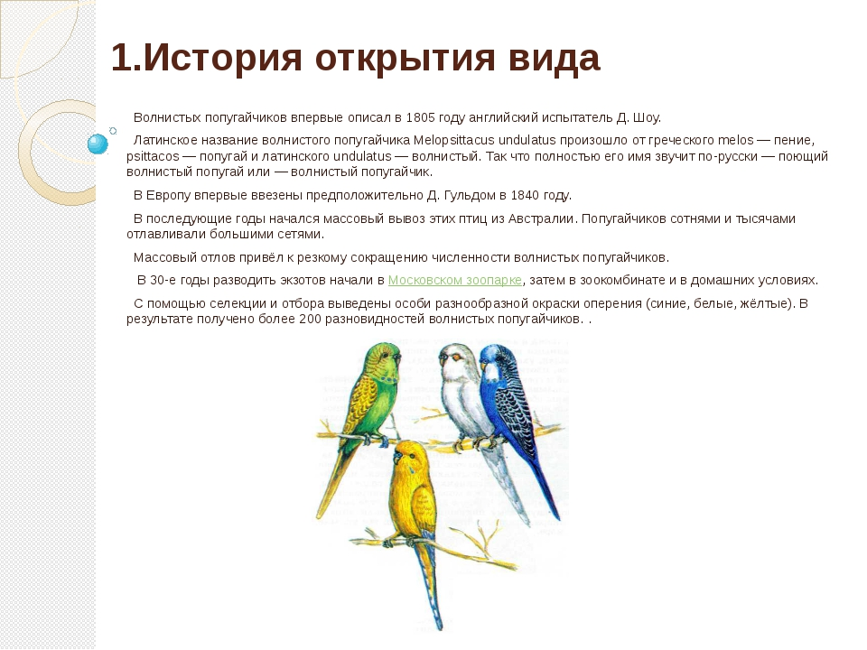 1.История открытия вида Волнистых попугайчиков впервые описал в 1805 году анг...