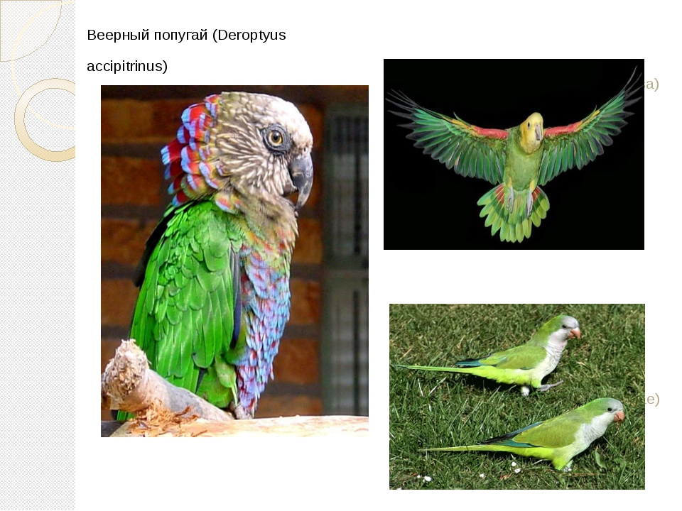 Bеерный попугай (Deroptyus accipitrinus) Амазонский попугай (Androglossa) Кли...