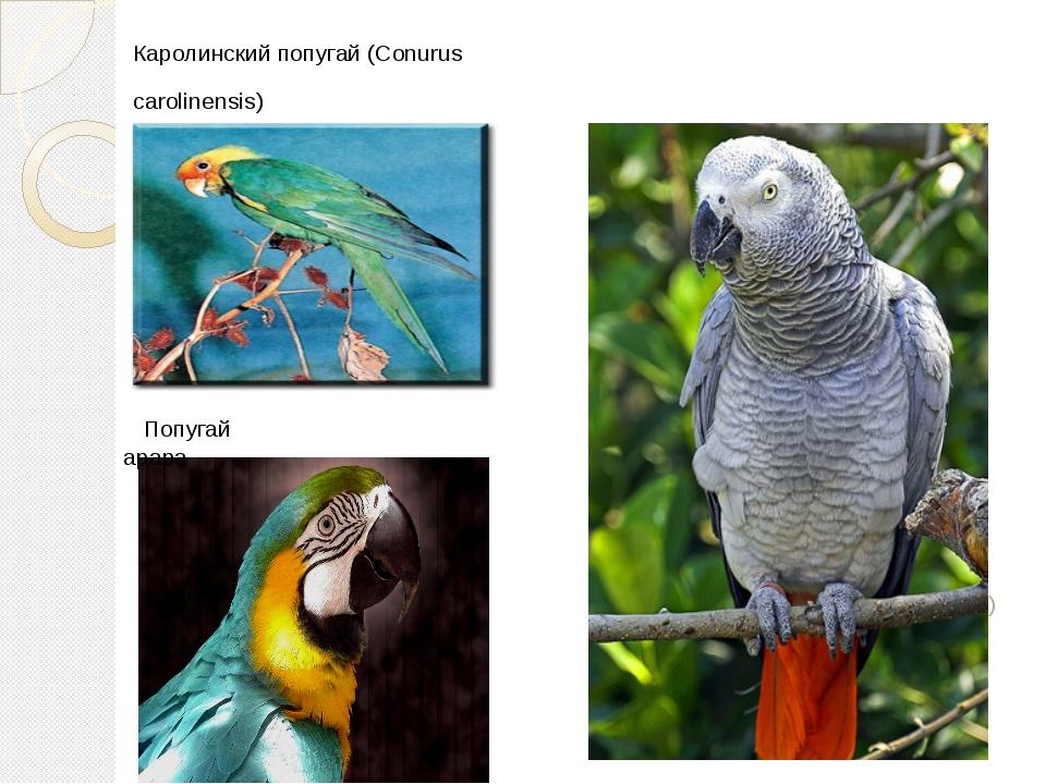 Каролинский попугай (Conurus carolinensis) Cерый попугай (Psittacus) Попугай...