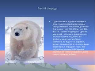 Белый медведь Один из самых крупных наземных представителей млекопитающих отр