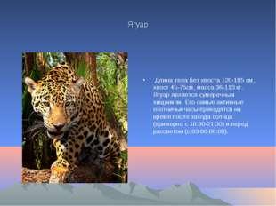 Ягуар Длина тела без хвоста 120-185 см, хвост 45-75см, масса 36-113 кг. Ягуар