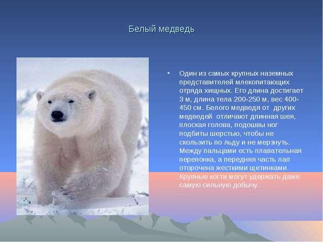 Белый медведь Один из самых крупных наземных представителей млекопитающих отр...