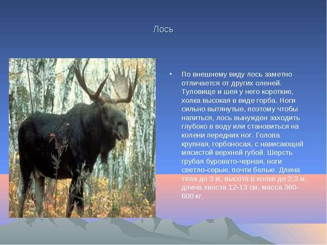 Лось По внешнему виду лось заметно отличается от других оленей. Туловище и ше...