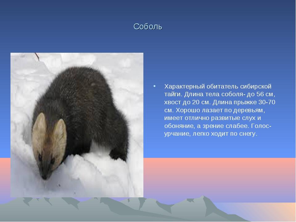 Соболь Характерный обитатель сибирской тайги. Длина тела соболя- до 56 см, хв...