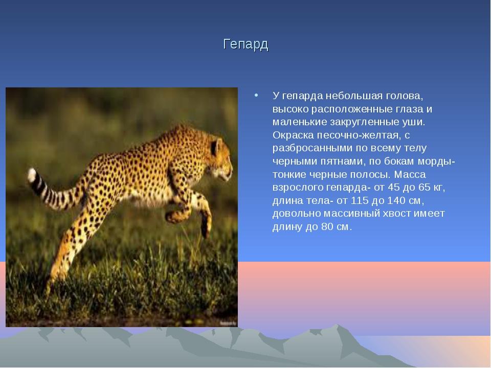 Гепард У гепарда небольшая голова, высоко расположенные глаза и маленькие зак...