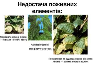 Недостача поживних елементів: Пожовкле нижнє листя — ознака нестачі азоту Оз