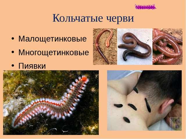 Кольчатые черви Малощетинковые Многощетинковые Пиявки