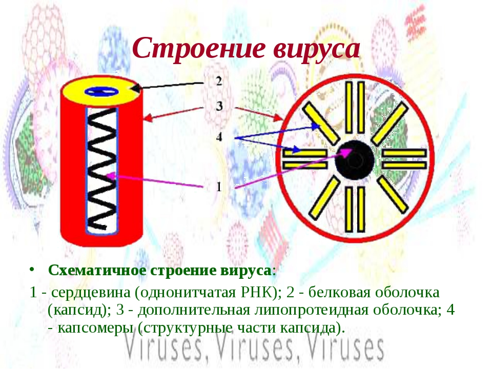 Строение вируса Схематичное строение вируса: 1 - сердцевина (однонитчатая РНК...