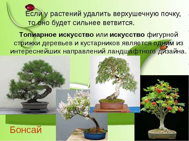 Бонсай Если у растений удалить верхушечную почку, то оно будет сильнее ветвит...