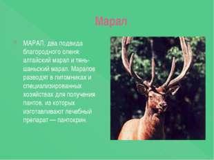 Марал МАРАЛ, два подвида благородного оленя: алтайский марал и тянь-шаньский
