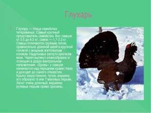 Глухарь Глухарь — птица семейства тетеревиных. Самый крупный представитель с