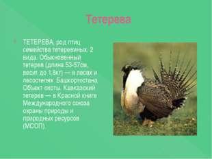 Тетерева ТЕТЕРЕВА, род птиц семейства тетеревиных. 2 вида. Обыкновенный тете