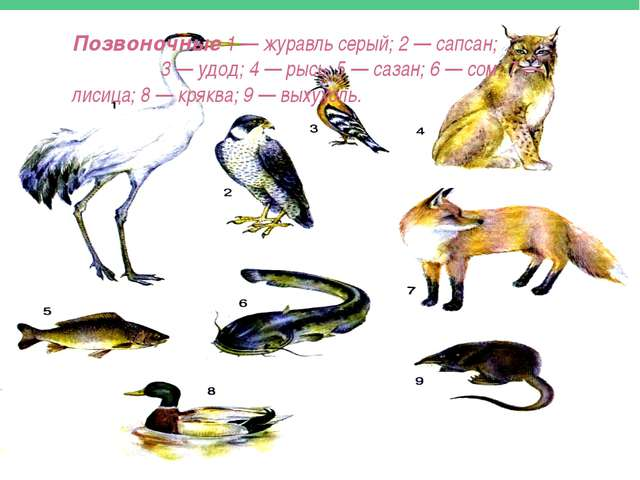 Позвоночные 1 — журавль серый; 2 — сапсан; 3 — удод; 4 — рысь; 5 — сазан; 6...