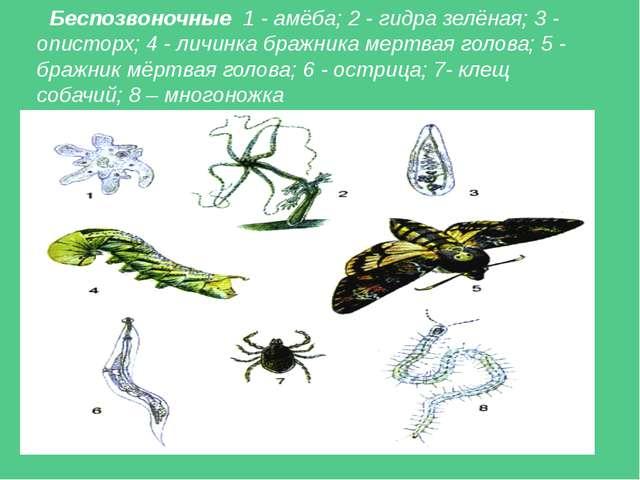 Беспозвоночные 1 - амёба; 2 - гидра зелёная; 3 - описторх; 4 - личинка бражни...