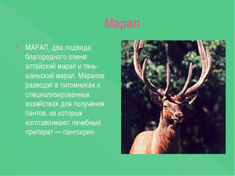 Марал МАРАЛ, два подвида благородного оленя: алтайский марал и тянь-шаньский...