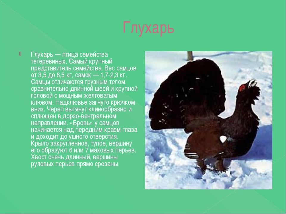 Глухарь Глухарь — птица семейства тетеревиных. Самый крупный представитель с...