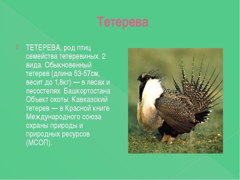 Тетерева ТЕТЕРЕВА, род птиц семейства тетеревиных. 2 вида. Обыкновенный тете...