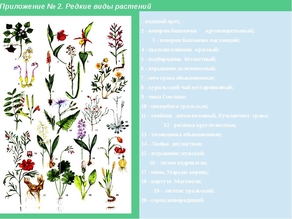 Приложение № 2. Редкие виды растений 1 -водяной орех; 2 - венерин башмачок кр...