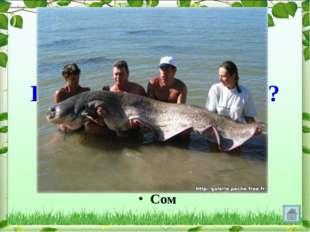 Какая рыба без чешуи? Сом
