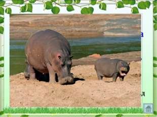 Большую часть дня бегемот проводит в воде или у воды, а на сушу выходит ночью