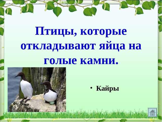 Птицы, которые откладывают яйца на голые камни. Кайры