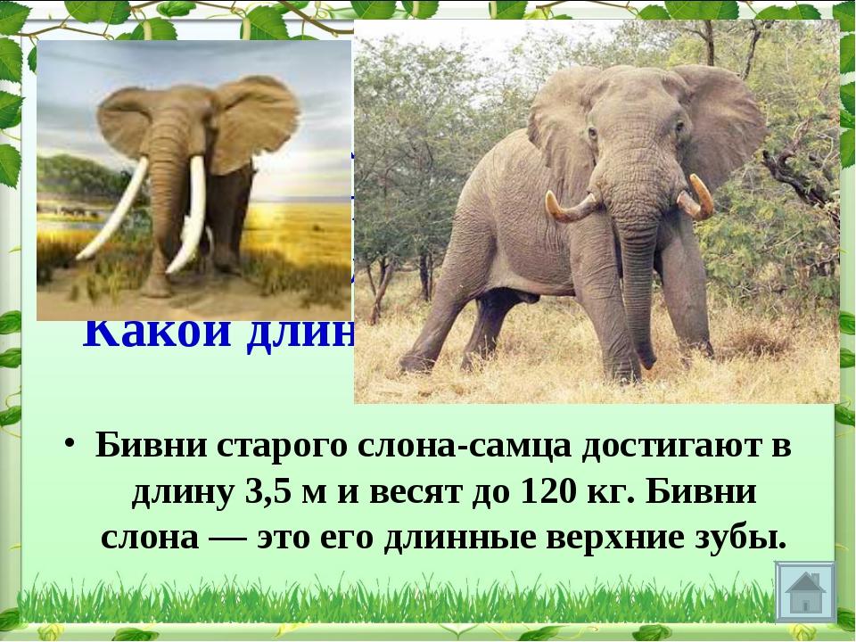 Бивни у слона растут всю жизнь, поэтому, чем старше слон, тем длиннее его бив...