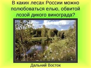 В каких лесах России можно полюбоваться елью, обвитой лозой дикого винограда?