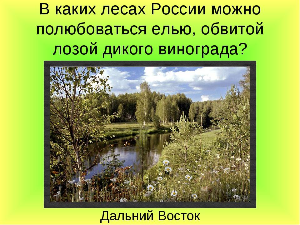 В каких лесах России можно полюбоваться елью, обвитой лозой дикого винограда?...