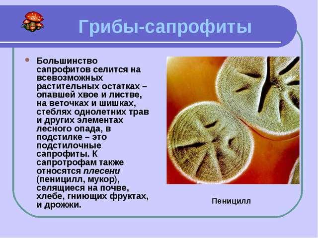 Грибы-сапрофиты Большинство сапрофитов селится на всевозможных растительных...