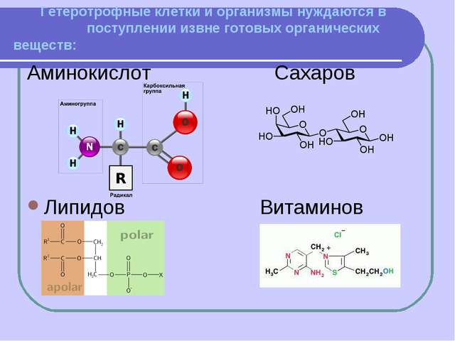 Гетеротрофные клетки и организмы нуждаются в поступлении извне готовых орган...