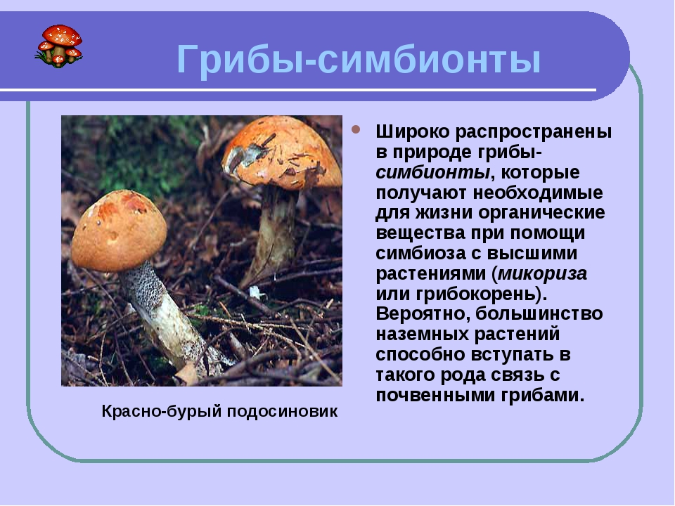 Грибы-симбионты Широко распространены в природе грибы-симбионты, которые пол...
