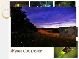 Жуки светляки