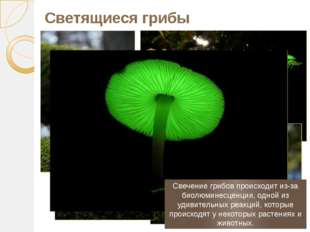 Светящиеся грибы Свечение грибов происходит из-за биолюминесценции, одной из