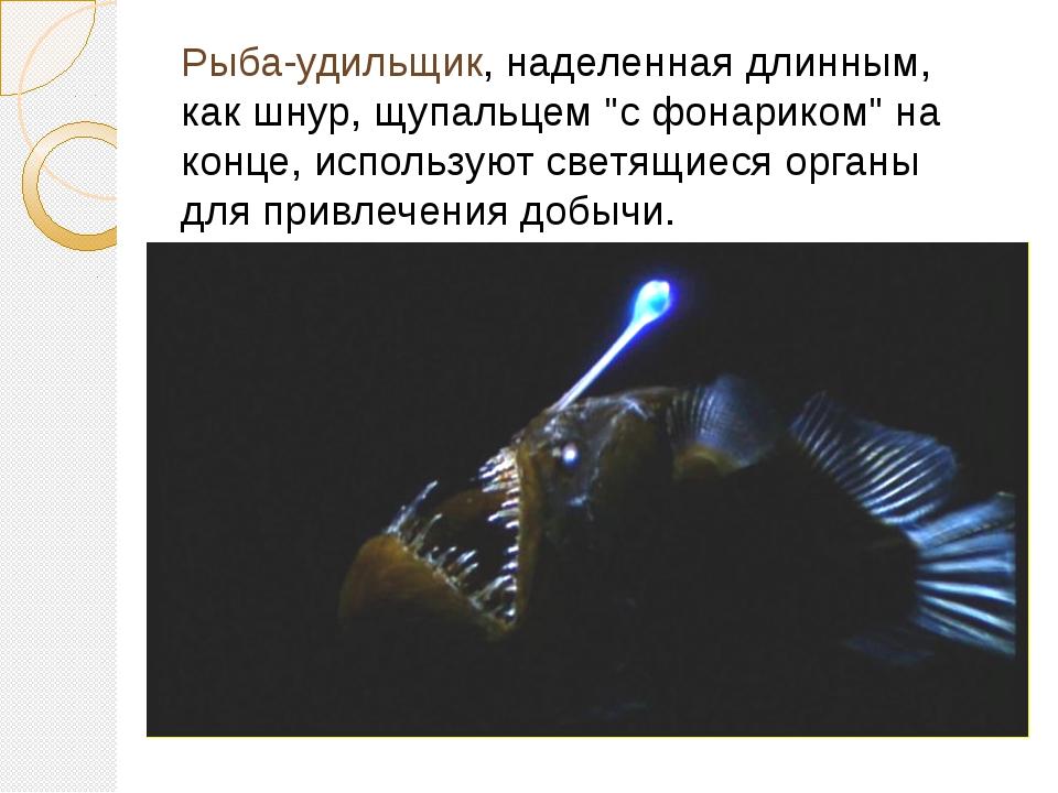 """Рыба-удильщик, наделенная длинным, как шнур, щупальцем """"с фонариком"""" на конце..."""