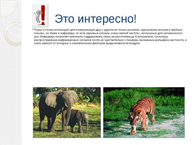 Это интересно! Тигры и слоны используют для коммуникации друг с другом не тол...
