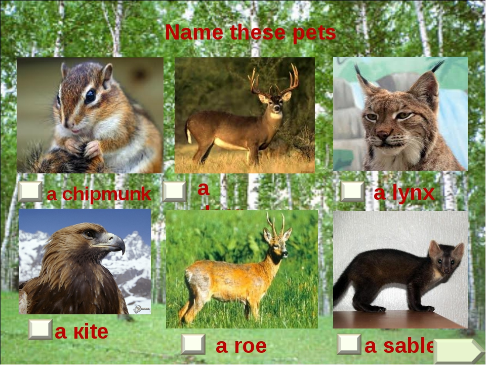 a sable a roe a кite a chipmunk a deer a lynx Name these pets