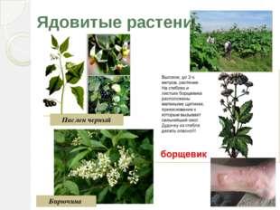 Ядовитые растения Паслен черный Бирючина