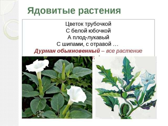 Ядовитые растения Цветок трубочкой С белой юбочкой А плод-лукавый С шипами, с...