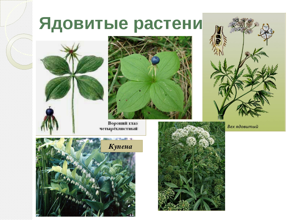 Ядовитые растения Купена