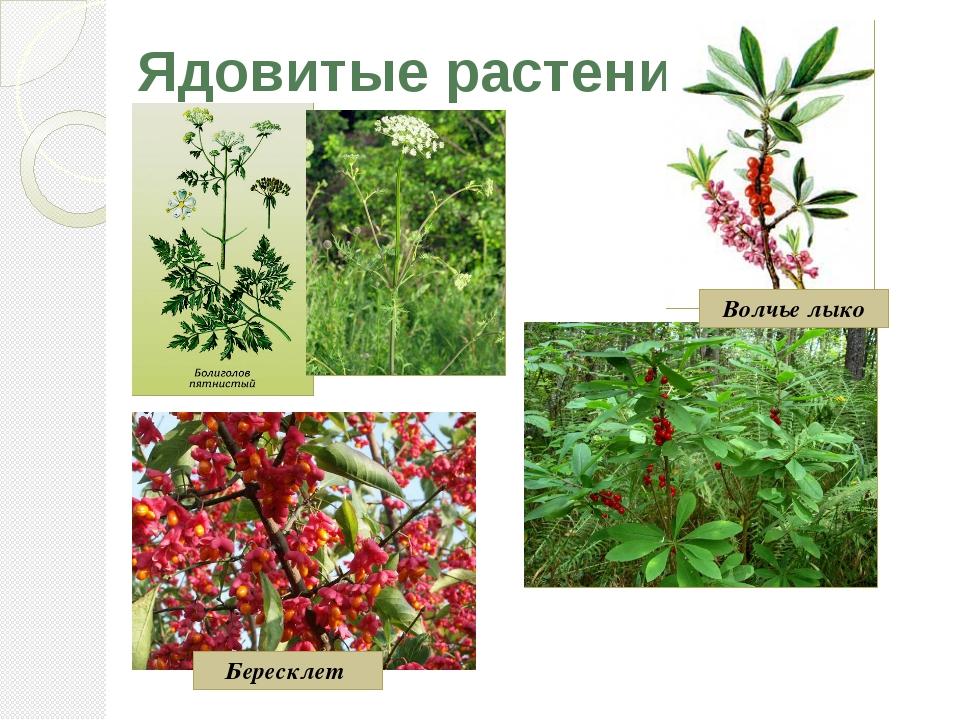 Ядовитые растения Волчье лыко Бересклет