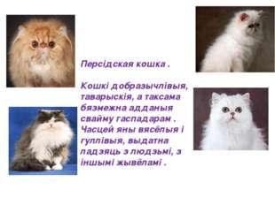 Персідская кошка . Кошкі добразычлівыя, таварыскія, а таксама бязмежна аддан