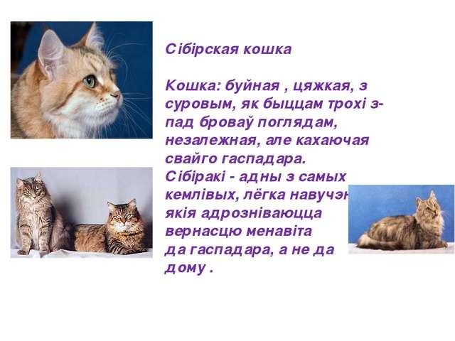 Сібірская кошка Кошка: буйная , цяжкая, з суровым, як быццам трохі з-пад бров...