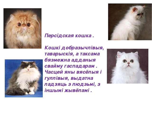 Персідская кошка . Кошкі добразычлівыя, таварыскія, а таксама бязмежна аддан...