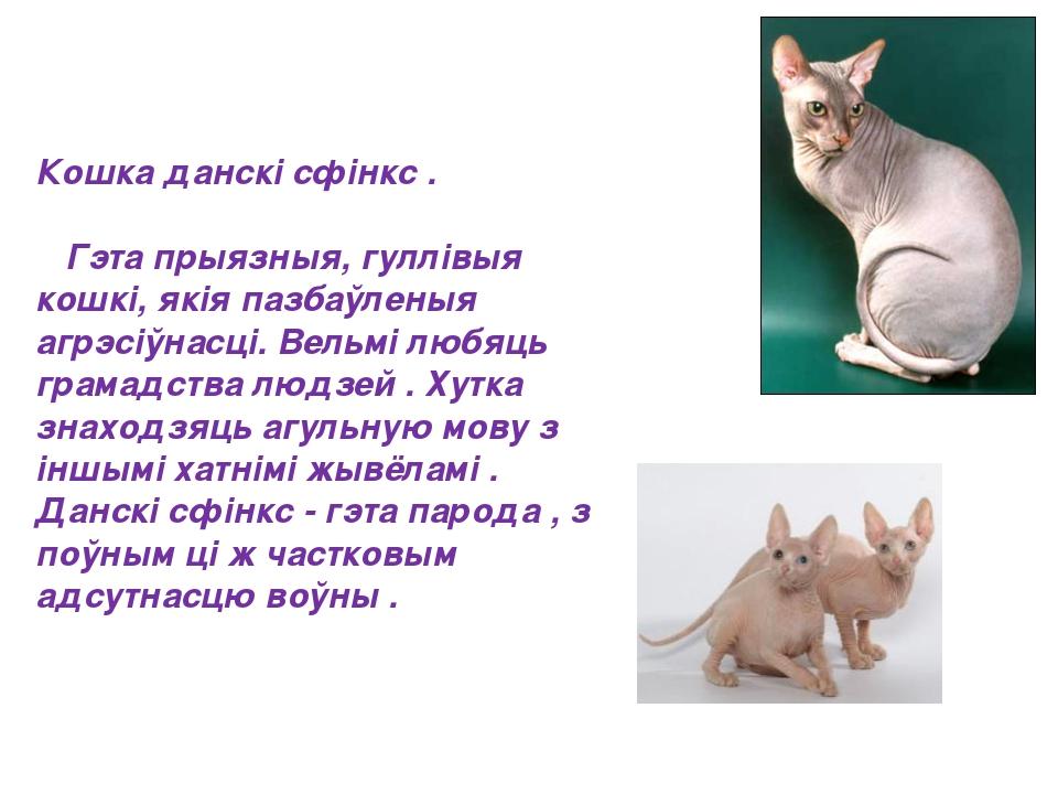 Кошка данскі сфінкс .  Гэта прыязныя, гуллівыя кошкі, якія пазбаўленыя а...