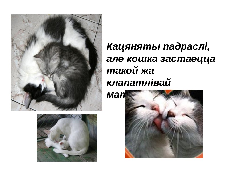 Кацяняты падраслі, але кошка застаецца такой жа клапатлівай матуляй .