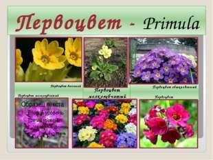 Первоцвет - Primula Первоцвет весенний Первоцвет мелкозубчатый Первоцвет мелк