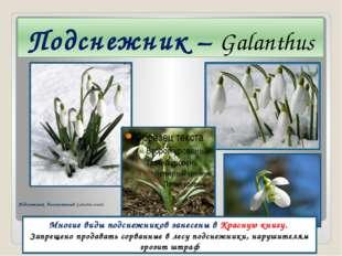 Подснежник – Galanthus Многие виды подснежников занесены в Красную книгу. Зап