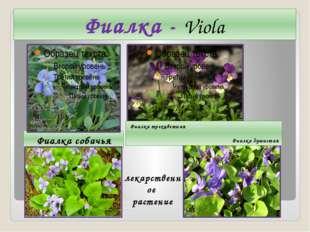 Фиалка - Viola Фиалка собачья Фиалка трехцветная Фиалка душистая лекарственно