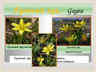 Гусиный лук - Gagea Гусиный лук желтый Гусиный лук туркестанский Гусиный лук
